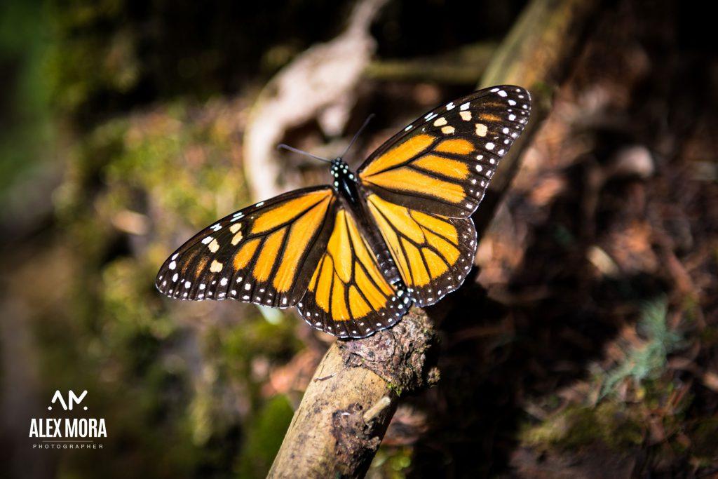 mariposa monarca en santuario invernación michoacán méxico