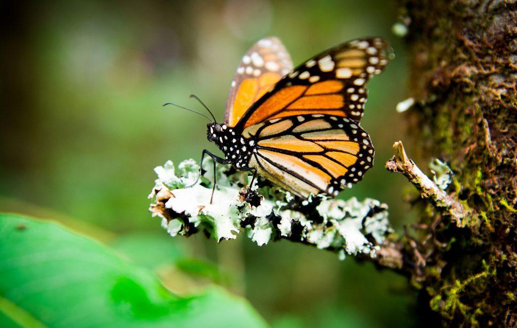 Reserva de la biosfera de la Mariposa Monarca en Michoacán México